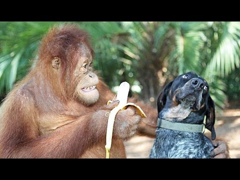 Ce singe a un chien de compagnie ! - ZAPPING SAUVAGE