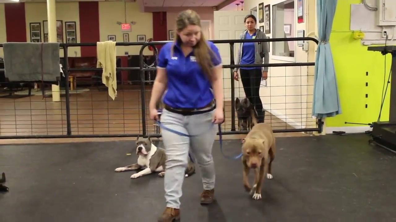 Dog Heeling Training With Drake Solid K9 Training Dog