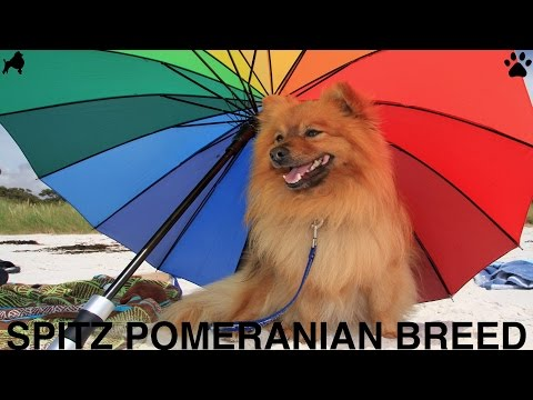 POMERANIAN BOO RESCUE SPITZ DOG BREED DIY Dog Food by Cooking For Dogs