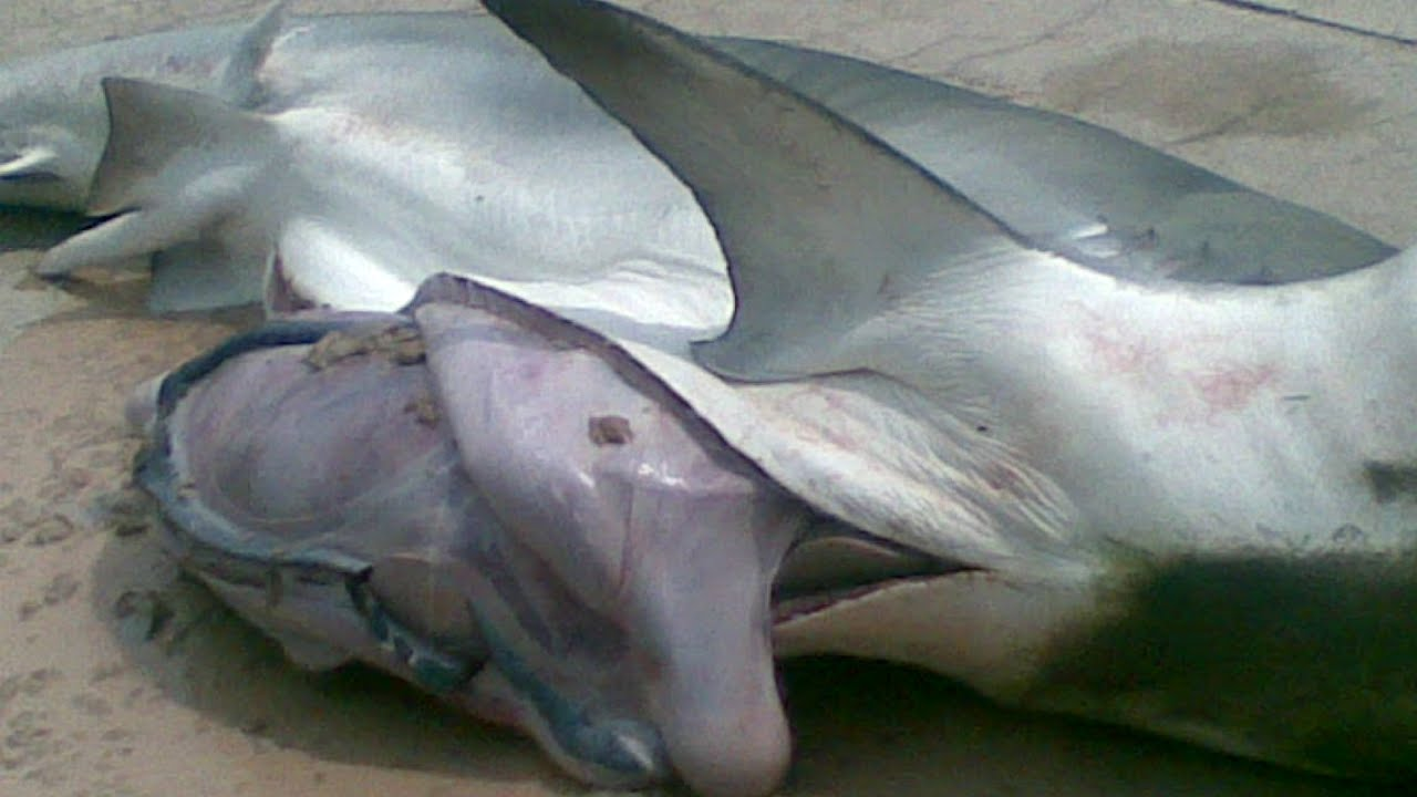 Mermaid Body Found In Shark