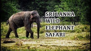 Sri Lanka Wild Elephant Safari - Asian Elephant - Sri Lankan Elephants