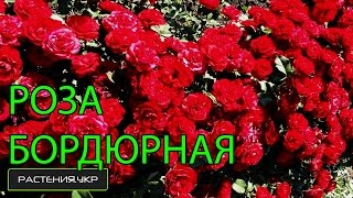 Роза кордана или бордюрная роза / уход за розами