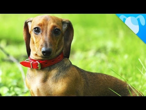 Dachshund Facts