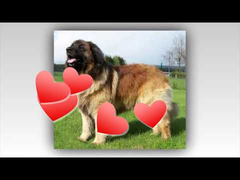 Leonberger dogs - One of the most expensive dogs in the world. They sell the price over 5,000$
