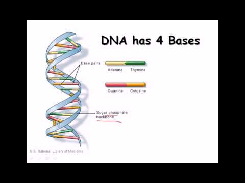 14. DNA strand (structure and function)