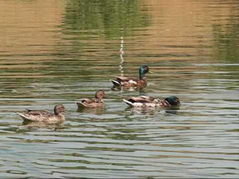 Hunting In Romania - Wild Duck