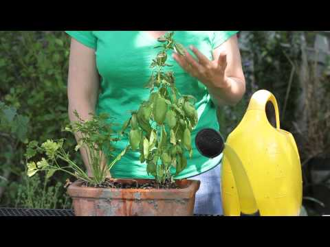How to Restore Basil After It Starts Wilting : Garden Space