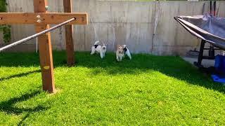 Wire Fox Terrier Clean in the Backyard