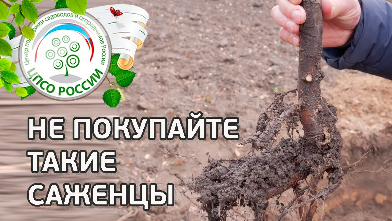 Никогда не покупайте такие саженцы. Как выбрать саженцы плодовых деревьев.