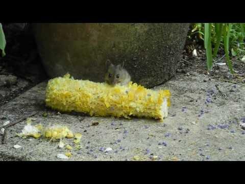 Siamese Cat Eating Corn On The Cob
