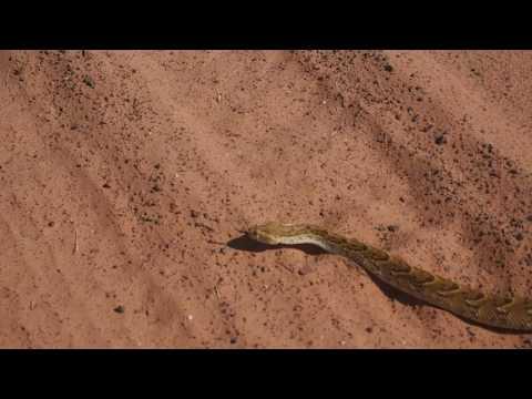 P6101288   Overstekende slang, onderweg naar Grootfontein