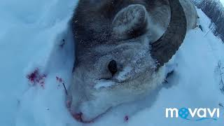 Охота на снежного барана в Якутии.