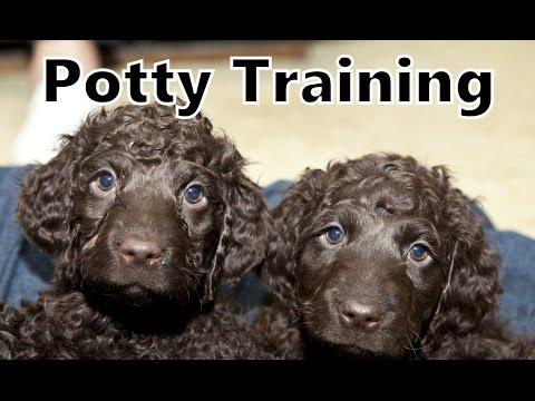 How To Potty Train An Irish Water Spaniel Puppy - Training Irish Water Spaniel Puppies Fast & Easy