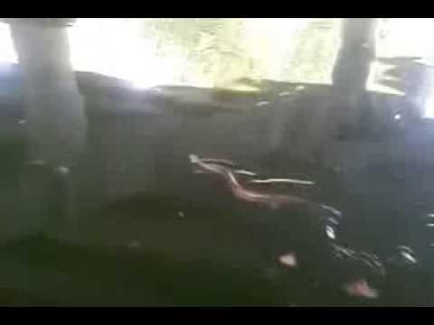 Dangerous snakes flooded in Mangla dam waters Dadyal water Dadyal horse racing