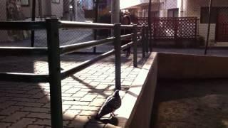 鳩を追いかけるが、飛ばない...