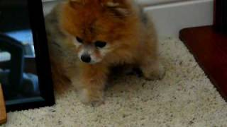Pomeranian Zoe Fussing Loudly