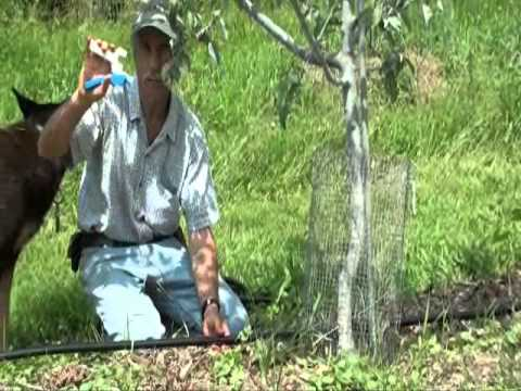 Drip Irrigation Tubing Installed In An Orchard Youtube