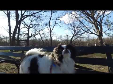 Walking Gia The Japanese Chin At McKinley Park Brooklyn, New York