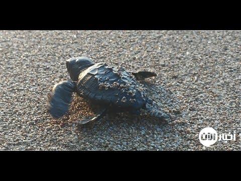 امرأة عربية كرّست 19 عاماً لحماية السلاحف البحرية المهددة بالإنقراض (خاص)