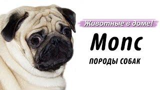 Мопс - породы собак.