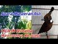 Suara Burung Cililin Coklat Gacor Durasi 1 Jam Untuk Masteran Murai Batu Nyecret(.mp3 .mp4)  Mp3 - Mp4 Download