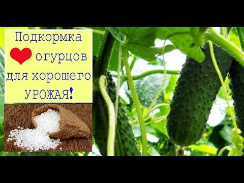 Подкормка огурцов для хорошего урожая. Сад и огород выпуск 262