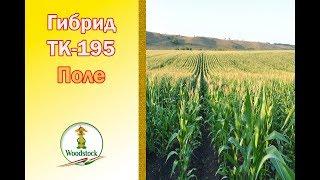 Кукуруза ВУДСТОК. Гибрид ТК 195. ФАО 195