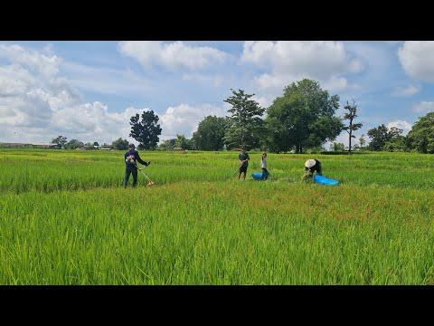 สี่หนุ่มคนขยัน ทำหน้าที่แทนเขยหล่าตัดหญ้าไว้ให้งัว