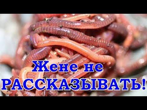 Как в домашних условиях сохранить навозных червей