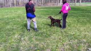 Chocolate - German Shorthaired Pointer For Sale