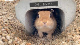 ウサギ専用としては日本一?ウサ山トンネル開通しました  #954