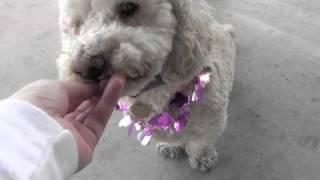 Liam (bichon Frise / Dachshund) - Furry Friends Rescue