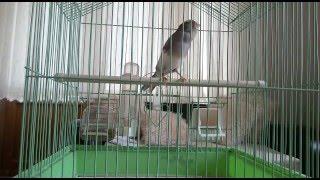 Şampiyon Bülbül Ötümlü Kanaryamdan CUMA ÖTÜMÜ( Nightingale Song - canary- sing sing -YouTube )