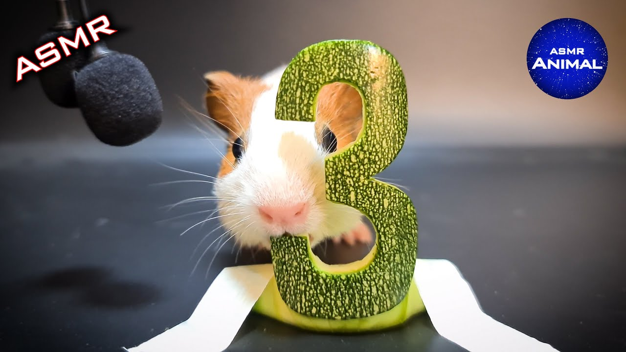 Guinea Pig Eating ASMR #3 Zucchini Courgette | Trailer