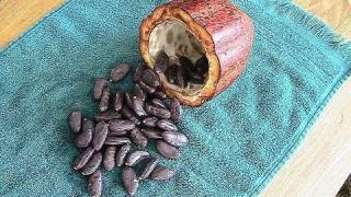 Grow Chocolate INDOORS from a seed!