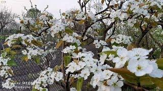 Цветущий сад. Мысли вслух. Ч4: груши и сливы