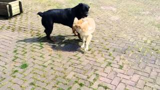 Rottweiler And Golden Retriever Pup Playing