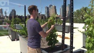 Жители одного из домов в Нью-Йорке создали виноградник на крыше