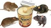 إعداد سم الفئران الكبيرة أو الصغيرة الحجم Youtube