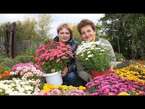 Роскошные хризантемы – мультифлора  Все тонкости выращивания