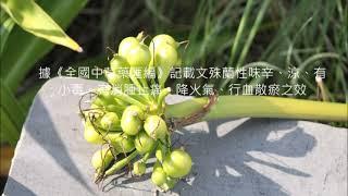 茄萣濕地植物系--文殊蘭Qieding Wetland Plants-Poison Bulb