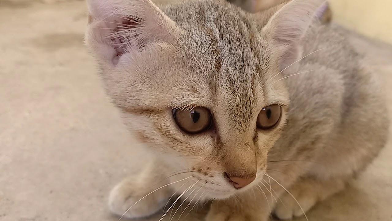 Download Mev mev three little kitten