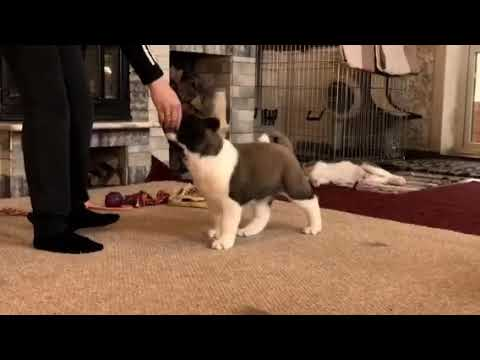 American Akita puppy male AFA BEFORE HEAVEN - for sale!