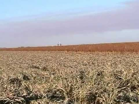 Combining sorghum (milo) and soybeans in Texas, USA