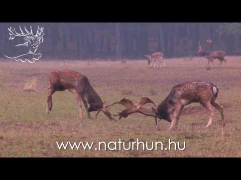 Dámbika vadászat a Naturhunnal