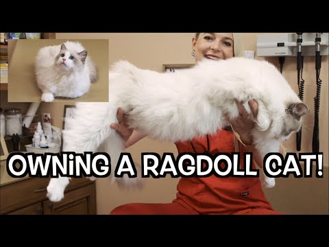 Owning a Ragdoll cat! | The most beautiful Cat Breed
