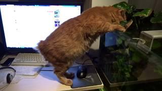 Демонстрация кота: Франтик рвет кошку Шреддера в мимишности за одну секунду! Ответ Шреддеру
