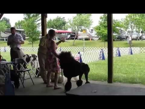 Conformation Dog Show, Standard Poodle, 2014