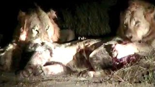 Herd of Lions  Attack  Leon Intruder