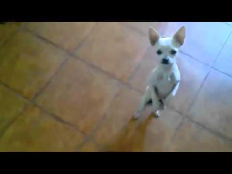 El Internet con el dancing Chihuahua